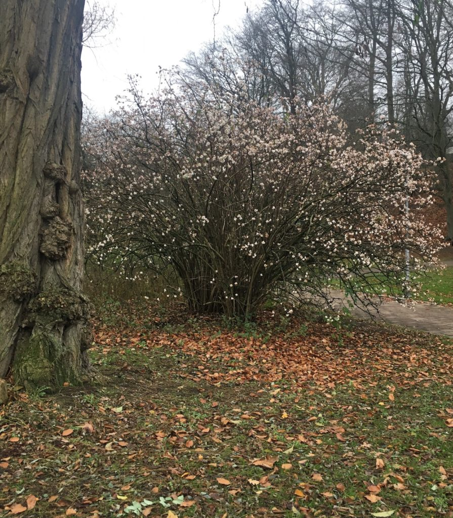 blommande träd och höstlöv  i december